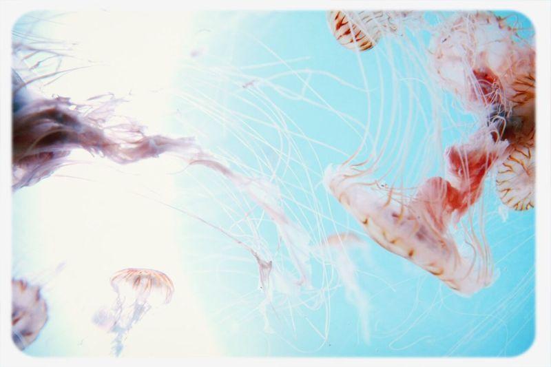 Jerryfish Medusa Taking Photos Sea
