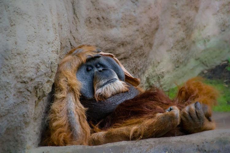 Monkey resting in a zoo