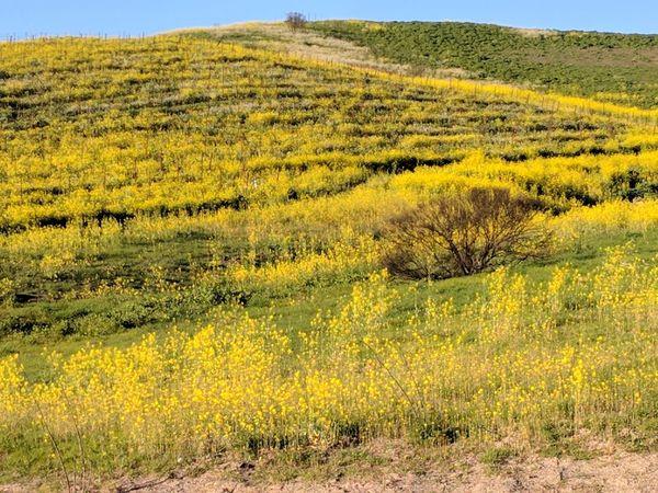 Mustard Fields Mustard Flower Mustard Flower Mustardyellow Mustard Yellow Mustardfield Mustard_yellow Mustard Time Mustard Plants Agriculture Field Nature Crop  Landscape Yellow Rural Scene