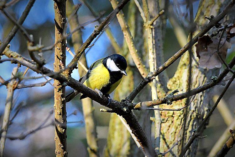 Rspb_love_nature Coal Titt Animal Wildlife Plant One Animal Tree