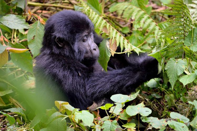 The huge silverback in bwindi impenetrable forest, uganda.