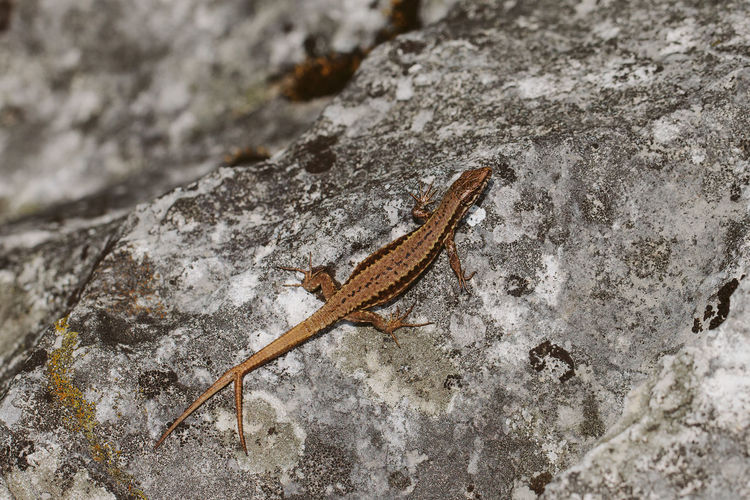 Two tailed common wall lizard One Animal Animal Themes Animals In The Wild Animal Wildlife Lizard Animal Rock Close-up Reptile Vertebrate Two Tails Spring Nature Ecology EyeEm Nature Lover Zoology Herpetology Podarcis Muralis