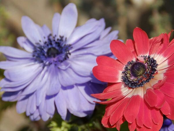 Cheerful (purple & red) ANEMONES『アネモネ』【 ストックから.. <(_ _*)> 】 | Anemone アネモネ Anemone Flower 花は癒し 花はありのままが美しい 無加工 NoEditNoFilter Full Frame Fragility Flower Flower Head Beauty In Nature Petal Freshness Olympusphotography Olympusinspired EyeEm Best Shots - Flowers EyeEm Gallery EyeEmNewHere EyeEm Best Shots - Nature EyeEm Best Shots Beauty In Nature From My Point Of View Flowers,Plants & Garden
