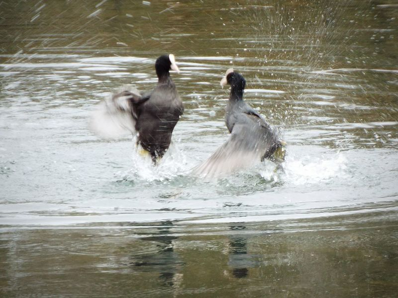 Duck boxing 👊😂 Nature On Your Doorstep Nature Nature Photography EyeEm Birds Bird Photography Birds Birds_collection Nature_collection Water Ducks Splashing Splash Capturing Movement Boxing Fight Fighting Check This Out Flapping Wings Trouble Troublemaker Wildlife Wildlife & Nature Wild