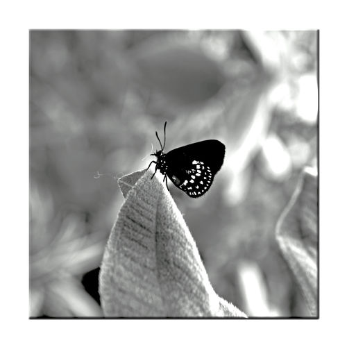 Butterflies At The Conservatory Of Flowers 15 San Francisco CA🇺🇸 Conservatory Of Flowers Built 1897 Golden Gate Park Architecture Victorian Style : Italinate Gothic Greenhouse Coontie Hairstreak Eumaeus Atala Lycaenidae Butterfly ❤ Butterfly _Lovers Special Exhibit Butterflies And Blooms Butterfly _Collection Monochrome_Photography Monochrome Insects  Black & White Black & White Photography Black And White Black And White Collection