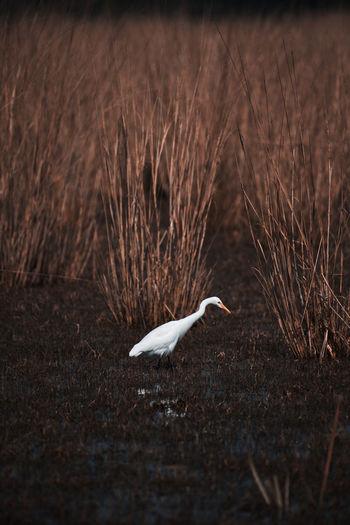 Indian egret