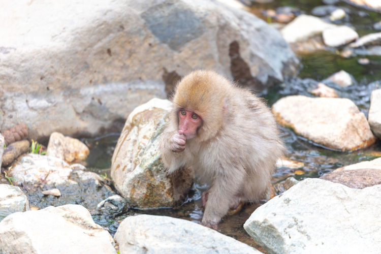 Japanese snow monkey Snow Monkey Baby Monkey Japanese Macaque Animals In The Wild Animal Wildlife One Animal No People Solid Primate Rock Mammal Nature Day Outdoors Jigokudani-Snow-Monkey-Park Jigokudani Baby Animal Young Animal