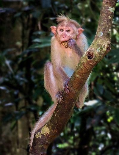Monkey Eating Alone Branches Animal Love Kerala India Nikon Animal Photography Forest