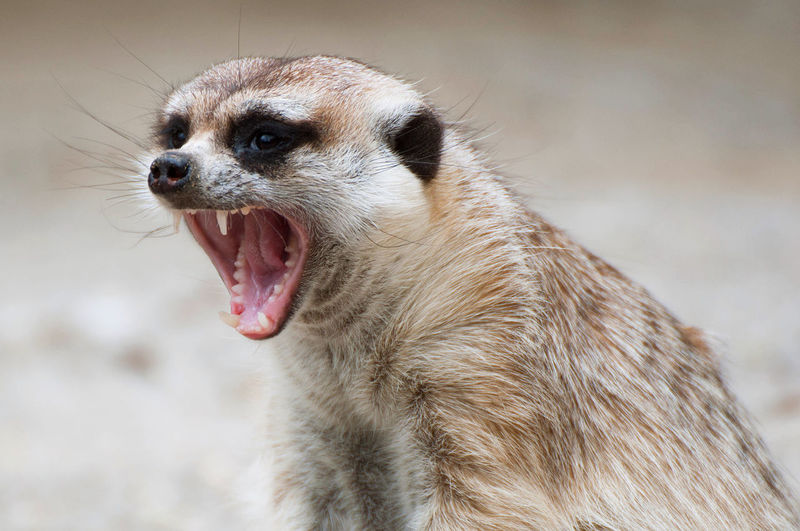 Close-Up Of Mongoose Yawning On Field