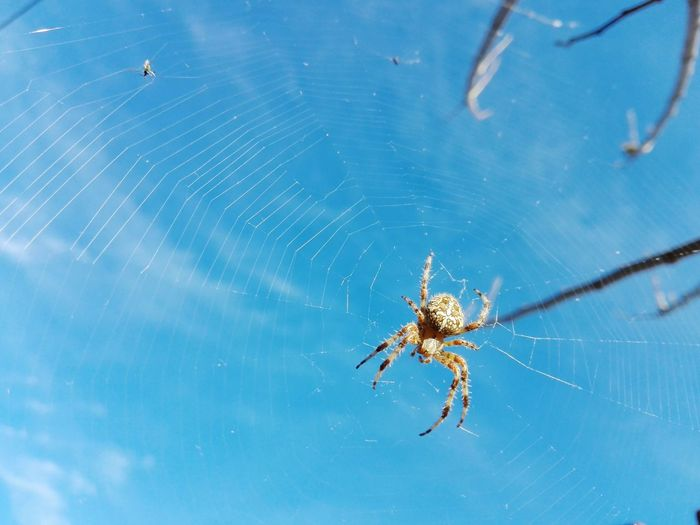 Cross Spider Spider Uppon Blue Sky Spider Veronica Ionita Veronica IONITA Photography VERONiCA Ionita PREMiUM Blue Sky On Market Eyeem Market EyeEm Selects Animal Leg Insect Spider Web Spider Web Close-up EyeEmNewHere