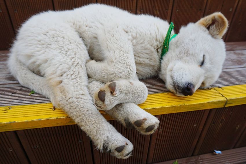 tired Pet Dogs Friendly Animals Animals Sleeping Dogs Leave Me Alone Lazy Sunday Jindo Dog JEJU ISLAND  South Korea Legs Stretched Out Dreaming
