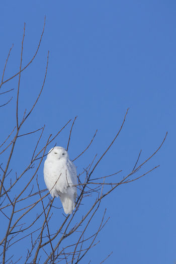 Animal Themes Animal Wildlife Animals In The Wild Beauty In Nature Bird Bird Of Prey Blue Branch Clear Sky Close-up Day Flying Low Angle View Nature No People One Animal Outdoors Owl Sky Snow Owl Tree