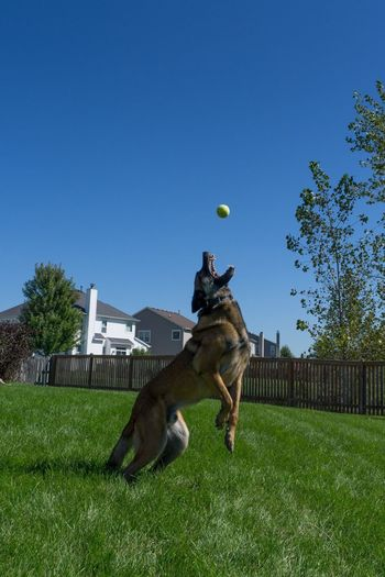 Belgian malinois playing with ball at backyard