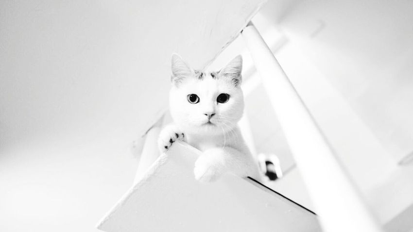 Pet Portraits Domestic Cat Pets Domestic Animals Animal Themes One Animal Cat Looking At Camera