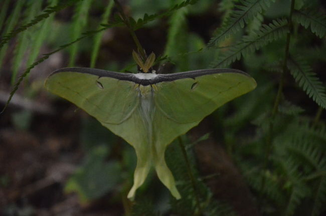 Luna Moth Animal Wing Animals In The Wild Beauty In Nature Close-up Day Flower Focus On Foreground Fragility Freshness Green Color Growth Insect Insect Photography Insects  Invertebrate Leaf Moth Nature No People One Animal Outdoors Plant Plant Part Vulnerability