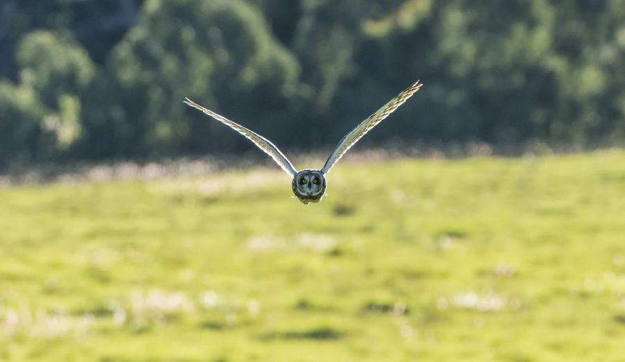 Eyes on you. One Animal Animal Wildlife Animal Themes Animals In The Wild Animal Flying Day Nature Green Color Mid-air Spread Wings No People Bird Field Land Grass Outdoors Focus On Foreground Animal Head  Owl Bird Photography Bird Of Prey Raptor Hawaii Birds Of EyeEm