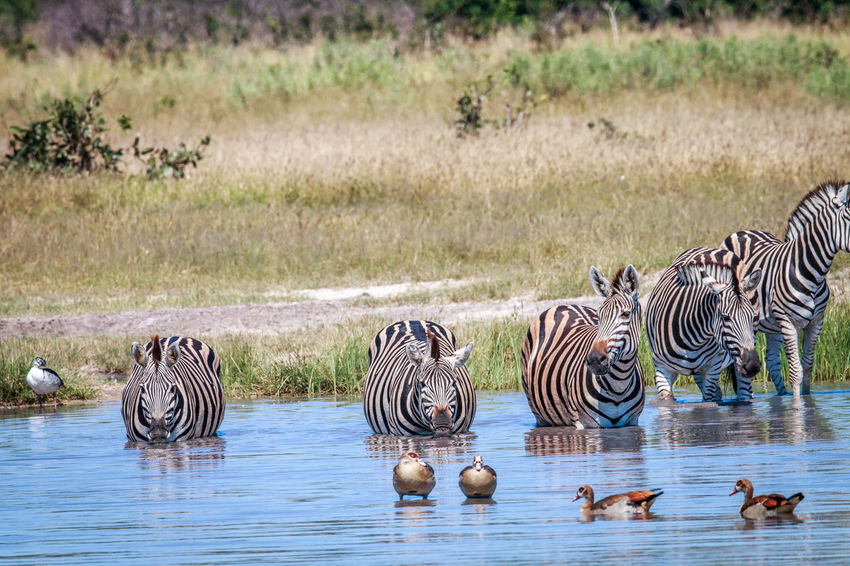 Mhmm water! Animals In The Wild Beautiful Beautiful Nature Burchell's Zebra Nature Nature Photography Travel Traveling Wildlife & Nature Wildlife Photography Wildlife Photos Zebra Africa Animal Themes Animal Wildlife Animals Beauty In Nature Equus Quagga Mammal Safari Safari Animals Striped Wildlife Wildlife And Nature Wildlifephotography