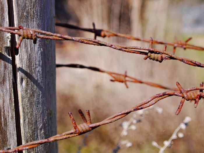 Barbed Wire Close-up Day Dried Plant Fence Fences & Beyond Focus On Foreground Nature No People Outdoors Rusty Wood - Material