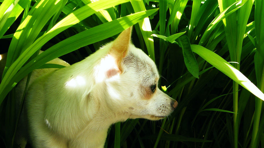 Animal Themes Chihuahua Close-up Day Dog Domestic Animals Grass Green Color Growth Leaf Mammal Mexican Hunting Dog Nature No People One Animal Outdoors Pets Plant Pet Portraits