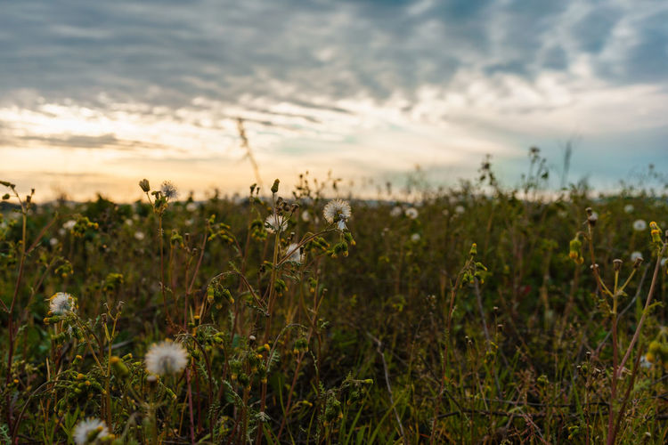 Plant Growth Beauty In Nature Field Land Sky Tranquility Nature No People Cloud - Sky Scenics - Nature Sunset Tranquil Scene Landscape Focus On Foreground Environment Outdoors Agriculture Day Rural Scene