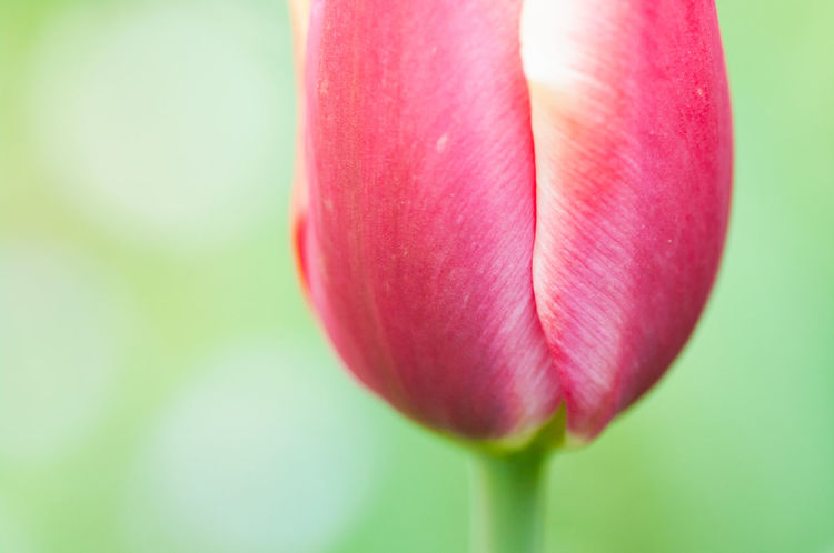 tulip - nature in bloom Beauty In Nature Close-up Day Flower Flower Head Flowering Plant Focus On Foreground Fragility Freshness Growth Inflorescence Nature No People Outdoors Petal Pink Color Plant Red Softness Tulip Vulnerability