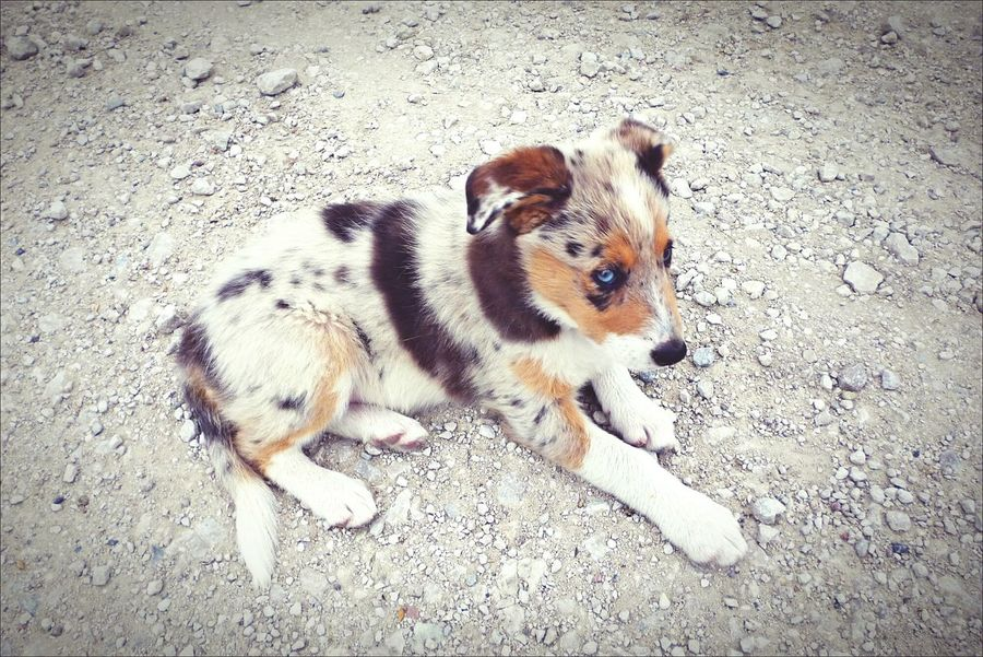 Border Collie Dog Animal Animals Doglover Puppy Merle