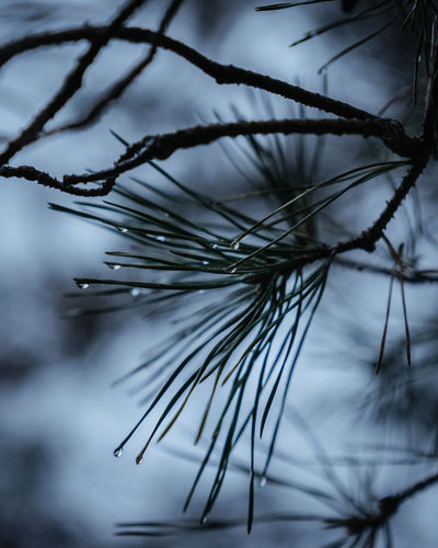 Close-up of wet pine tree during winter