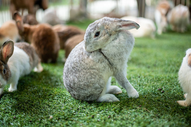 Rabbit Bunny  Rabbits Grass Easter Cute Baby Green Animal Eating Pet White Nature Wild Summer Chick Young Farm Meadow Garden Small Field Wildlife Background Spring Funny Little Brown Flower Fauna Domestic Mammal Fur Hare Gray Furry Animals Outdoor One Sitting