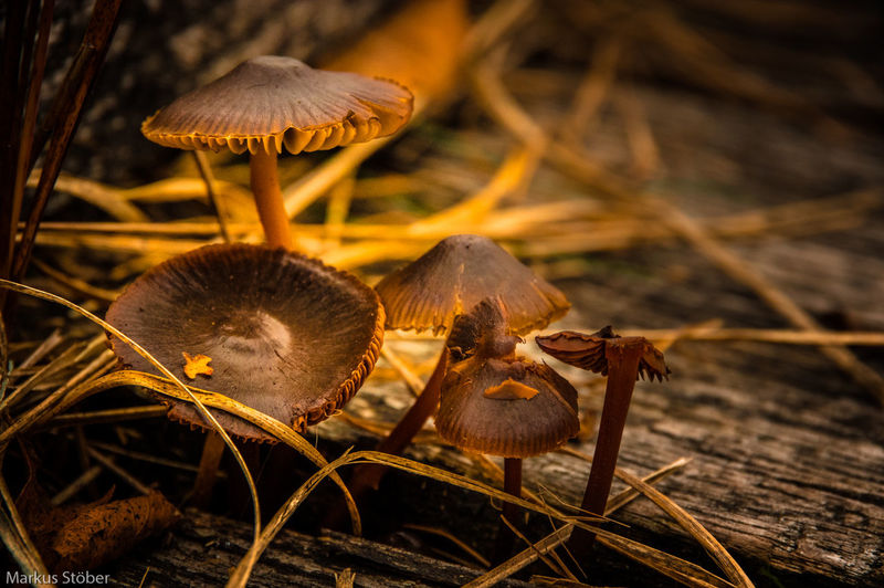 Mushrooms Beauty In Nature Brown Close-up Day Focus On Foreground Fragility Fungus Growing Growth Natural Pattern Nature No People Outdoors Plant Selective Focus Shell Toadstool Tranquility Uncultivated