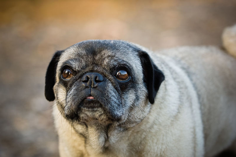 Pug dog outdoor portrait One Animal Canine Pets Dog Domestic Domestic Animals Portrait Pug Close-up Looking At Camera No People Lap Dog Purebred Dog Outdoors Animal Themes