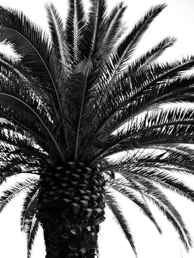 Beauty In Nature Black And White Botany Close-up Day Green Color Growth Leaf Low Angle View Natural Pattern Nature Nature Pattern Nature Textures No People Outdoors Palm Leaf Palm Tree Part Of Plant Sky Summer Vibes Tall Trees Tranquility Tree Tree Trunk