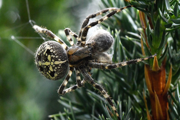 Selective Focus Animal Themes Makrofotografie NikonD500 Sigma 150mm Makro Spider Makro Beauty In Nature Nature Makro Photography Nikonphotographer No People Nikonphotography Plant Spinne Herbstfarben
