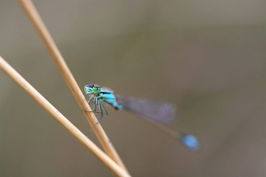Ischnura Elegans Damselfly Insect Photography Macro Insects EyeEm Macro Macroclique Macro Macro_collection EyeEm Nature Lover Nature_collection
