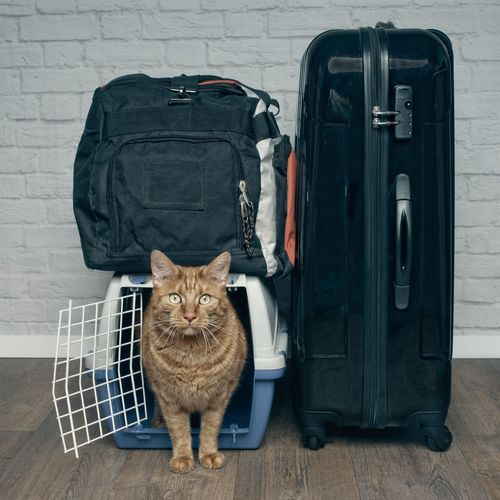 Traveling with a cat - ginger cat looking curious from a pet carrier next to a suitcase. Cats Of EyeEm Ginger Cat Travel With Cat Animal Animal Themes Bag Cat Domestic Domestic Animals Domestic Cat Feline Flooring Indoors  Looking At Camera Luggage Mammal No People One Animal Pentax Portrait Suitcase Travel Travel With Pet Vertebrate Whisker