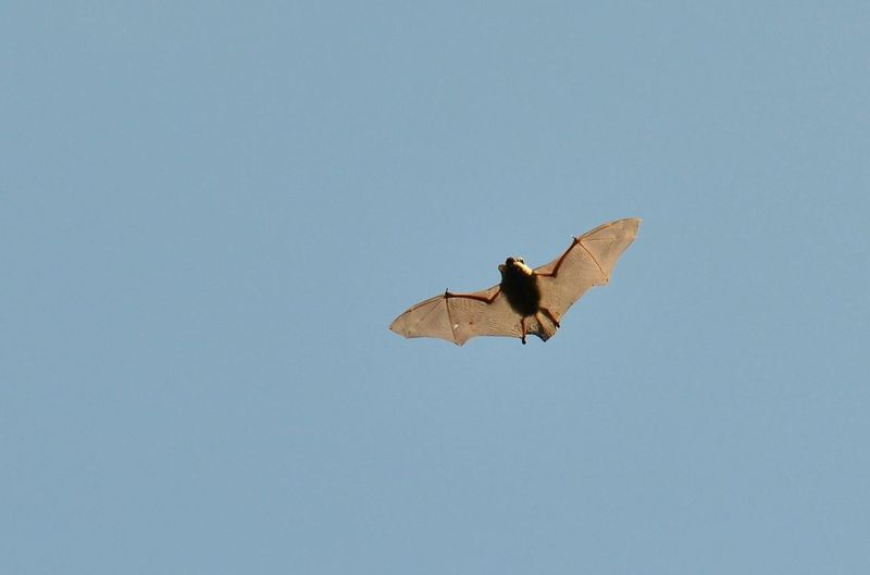 Wildlife Photography Nature Nature Photography Naturelovers Bats Kennermerduinen Flying