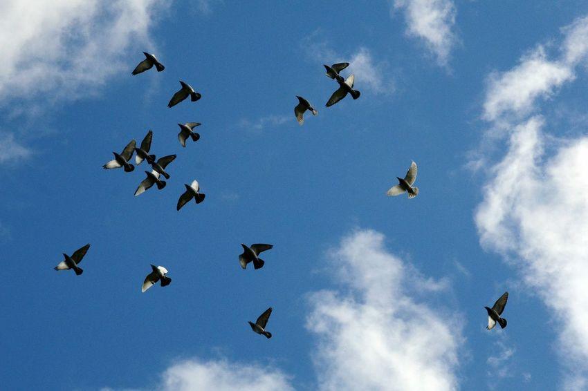 Racing Pigeons Birds In Flight