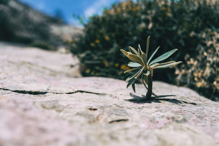 Small stem of euphorbia sticking out of a gray rock in the mountain of catalonia, spain