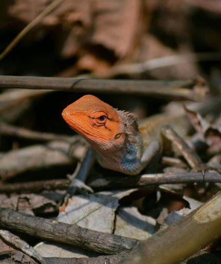 iF....ChameLeon..Thinks....He..iS...BesT...iN...ChanGing...colouRs.....weLL..iT...seems....ThaT..He...hadn'T...EncounTered...WiTh...Human...YeT... Malephotographerofthemonth Into The Woods Sikkim Wildlife Reptile Close-up Chameleon HEAD Lizard Gecko Eye