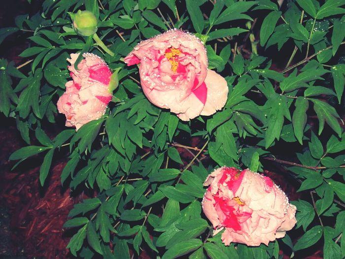 peonies! Spring Flowers