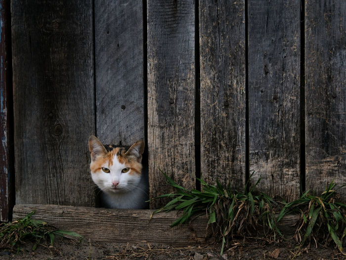 Cat peeking out of a hole in the old wooden fence