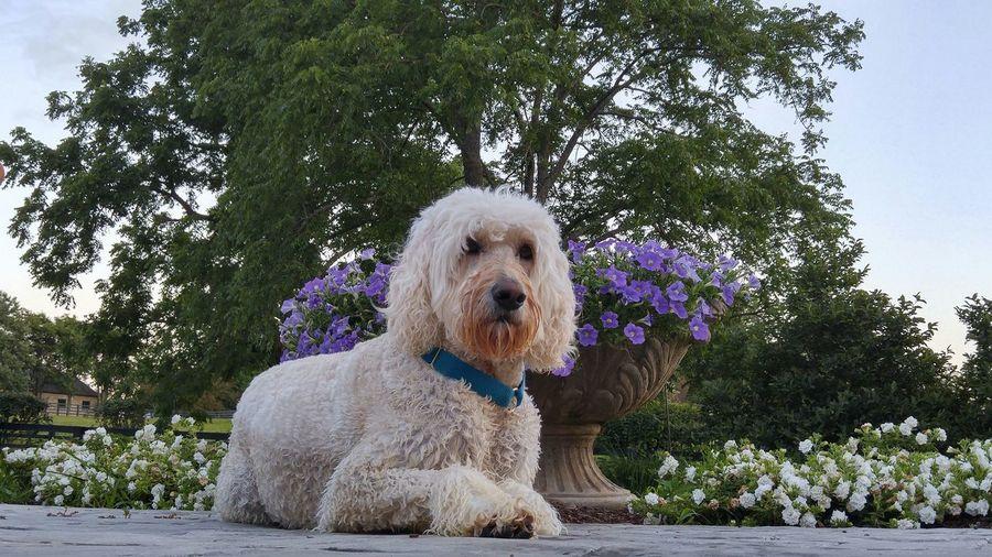 Dog❤ Goldendoodle Pool Time Elegant Beautiful Dogpose Animalphotography With Flowers CaptureTheMoment Vouge Dog