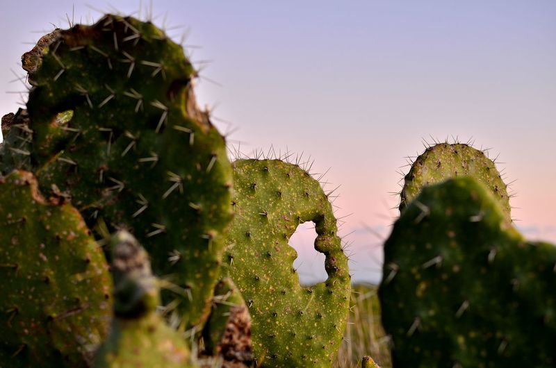 Close-up of prickly pear cactus against clear sky