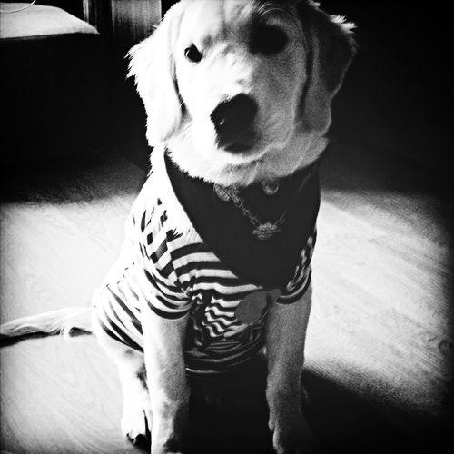 Ilovemydog Goldenretriever Goldenboy Hello World