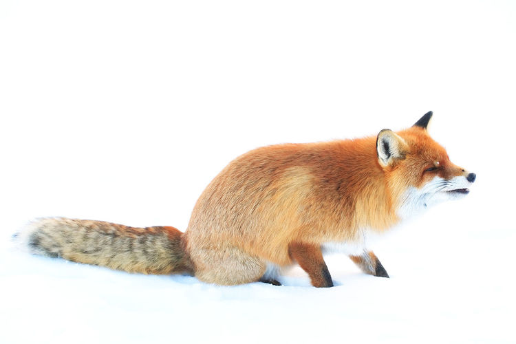 Animal Animal Photography Animal Themes Animal_collection Animals In The Wild Cute Day Fox Foxy Mammal One Animal Red Wild Wilderness Wildlife Wildlife & Nature Wildlife Photography