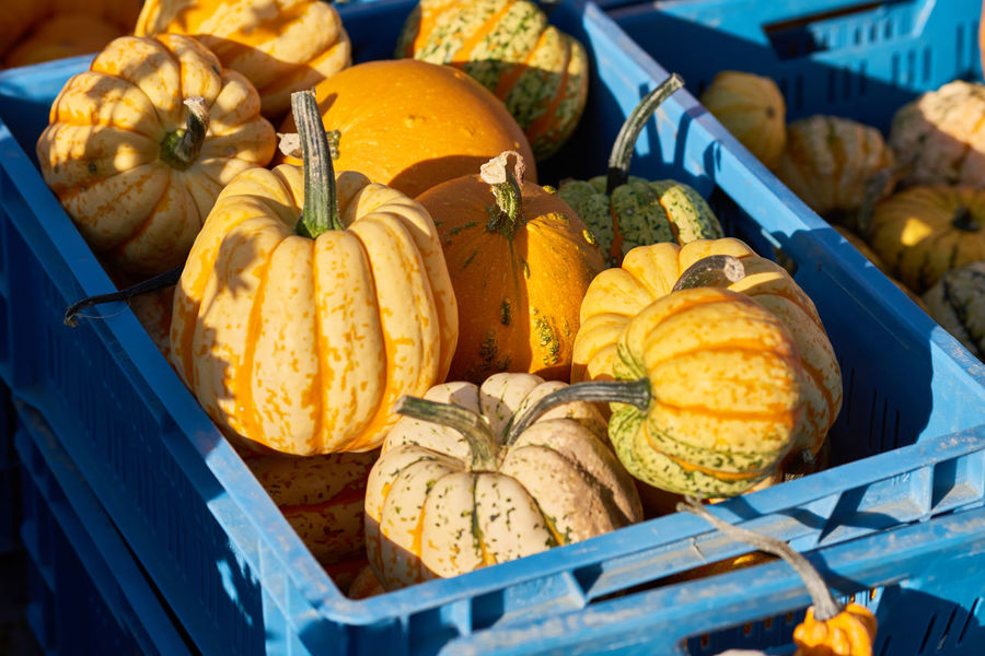 Yellow mini pumpkins in a blue plastic crate on a local market - ready for sale. Colorful Eatng First Eyeem Photo Freshness Green Color Healthy Local Landmark Low Carb Nature Nature_collection Orange Color Pumpkin RGanimals Vegetable
