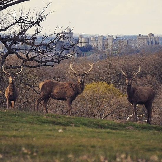 England. Deer View Castle Beauty Countryside WoodLand Wildlife Windsor Park Outdoors Instagood Igers Photography Peace Cool Ig_captures Powerful Health Exercise Wild Ig_nature Naturelovers Happy England Uk earth britain potd life