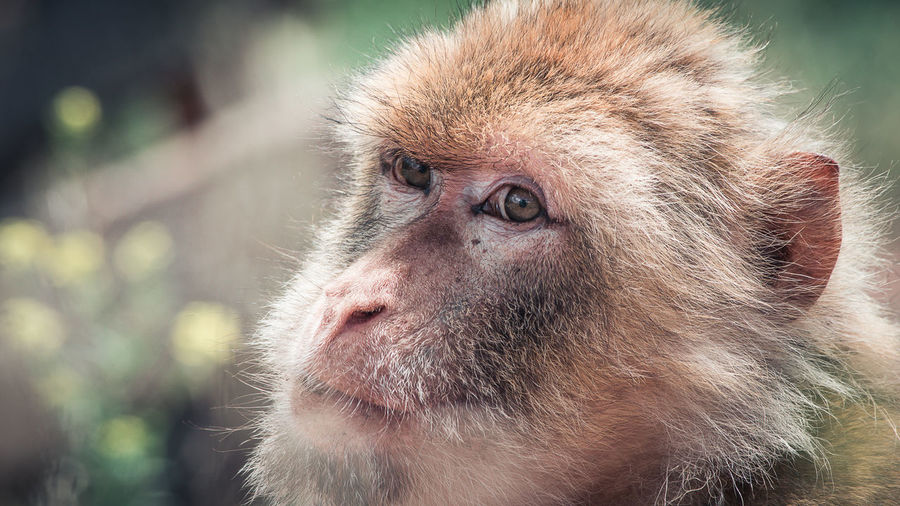 Animal Hair Animal Head  Animal Themes Animal Wildlife Animals In The Wild Ape Baboon Close-up Day Japanese Macaque Mammal Monkey Nature No People One Animal Outdoors Portrait Primate