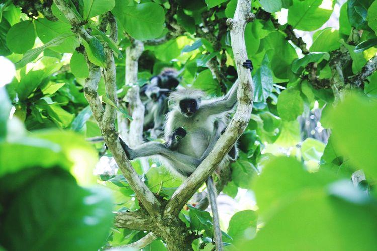 Monkeys Zanzibar Monkey Hanging Zanzibar Colobus Tanzania Leaf Plant Part Green Color Animals In The Wild Animal Wildlife Animal Animal Themes Plant No People Close-up Beauty In Nature
