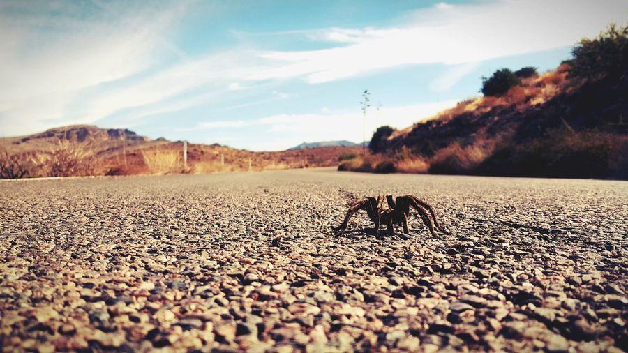 Close up of a tarantula on a desert road