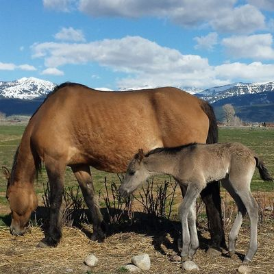 """Within hours of my dad heading out of town, the horse that he said """"didn't look ready to foal"""" gave birth. So... We got to go love on him! Colt Morgans Nofilter Trwranch"""